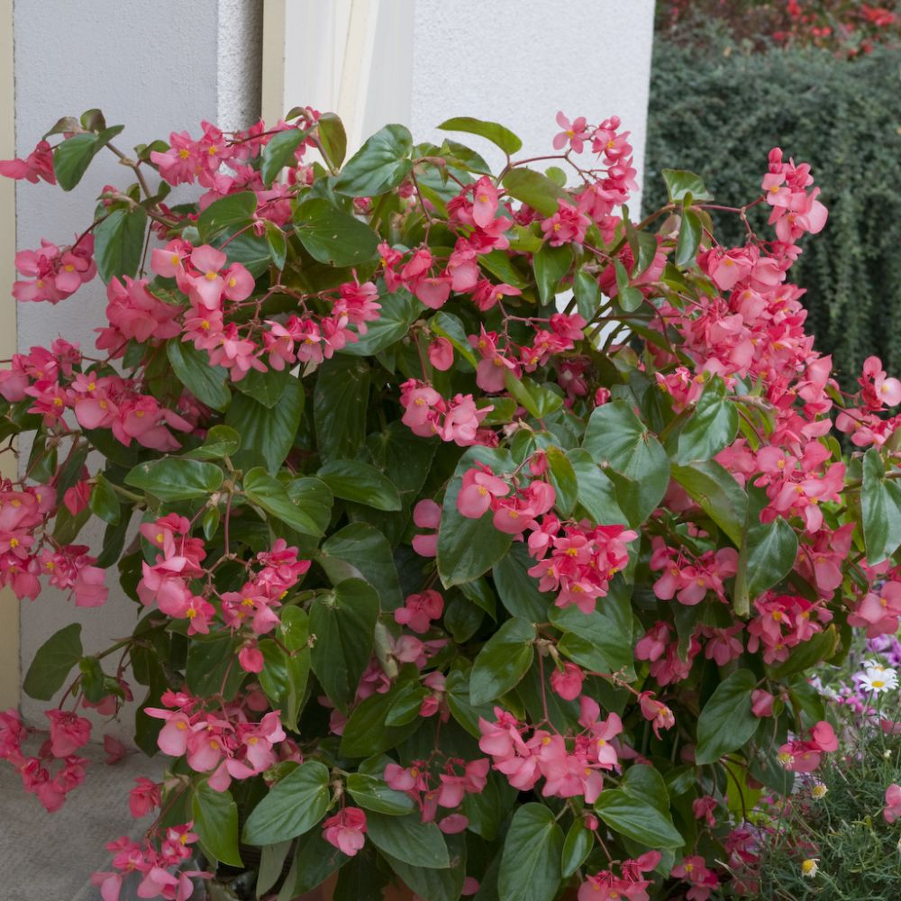 b gonia semperflorens 39 ambassador 39 rose plantes et jardins. Black Bedroom Furniture Sets. Home Design Ideas