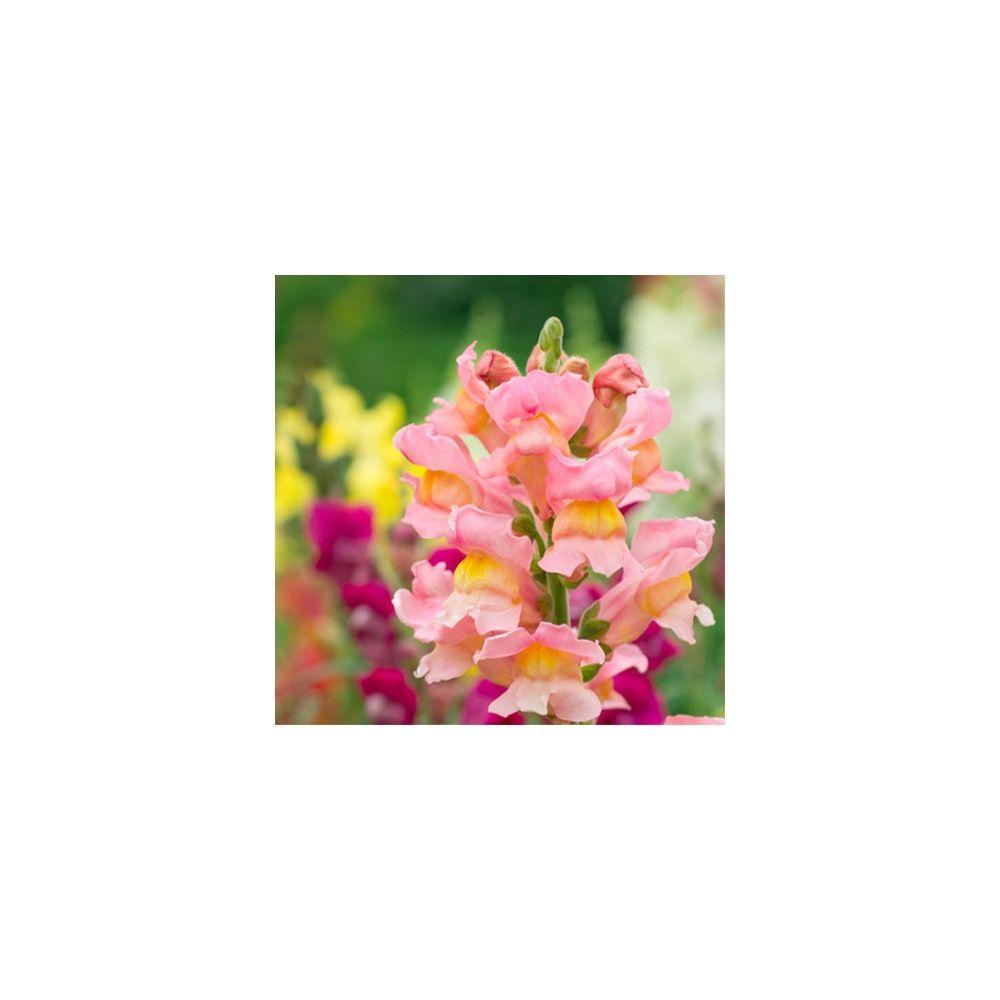 Muflier nain 39 rose petal 39 plantes et jardins for Plante et jardins