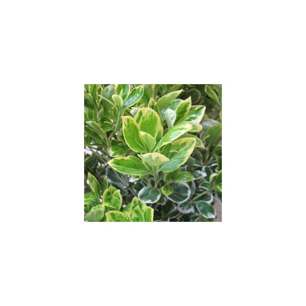 fusain du japon 39 pr sident gauthier 39 plantes et jardins. Black Bedroom Furniture Sets. Home Design Ideas