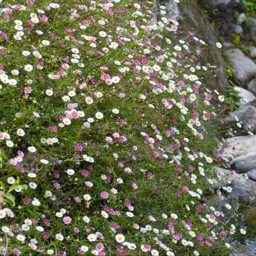 Erigeron karvinskianus plantes et jardins for Jardin et plantes