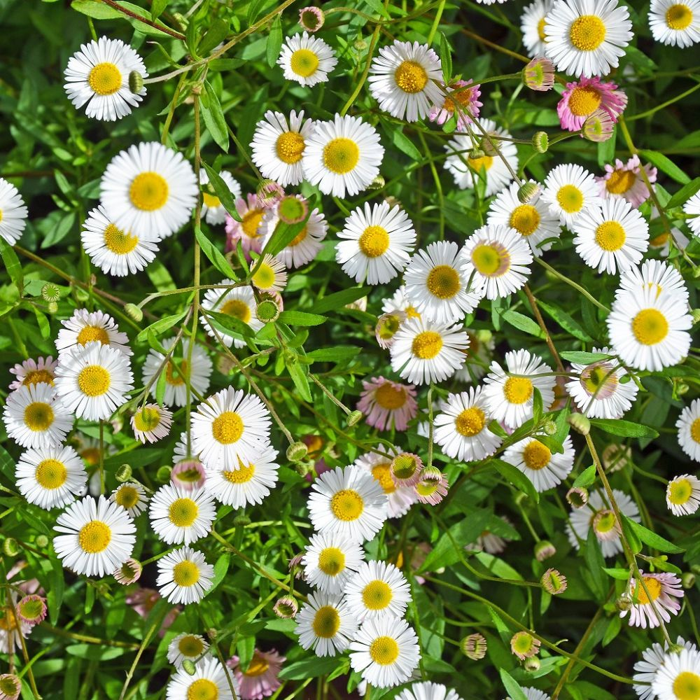 Erigeron karvinskianus plantes et jardins for Plantes et jardins adresse
