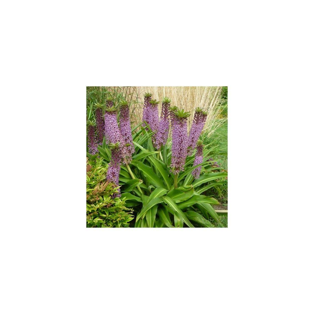 Eucomis 39 reuben 39 plantes et jardins for Plantes et jardins