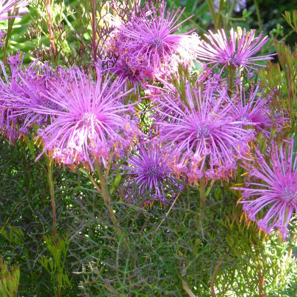 Isopogon plantes et jardins for Plante et jardins
