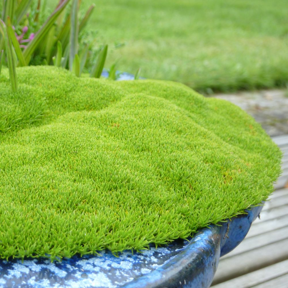 Scleranthus biflorus plantes et jardins for Plante et jardins
