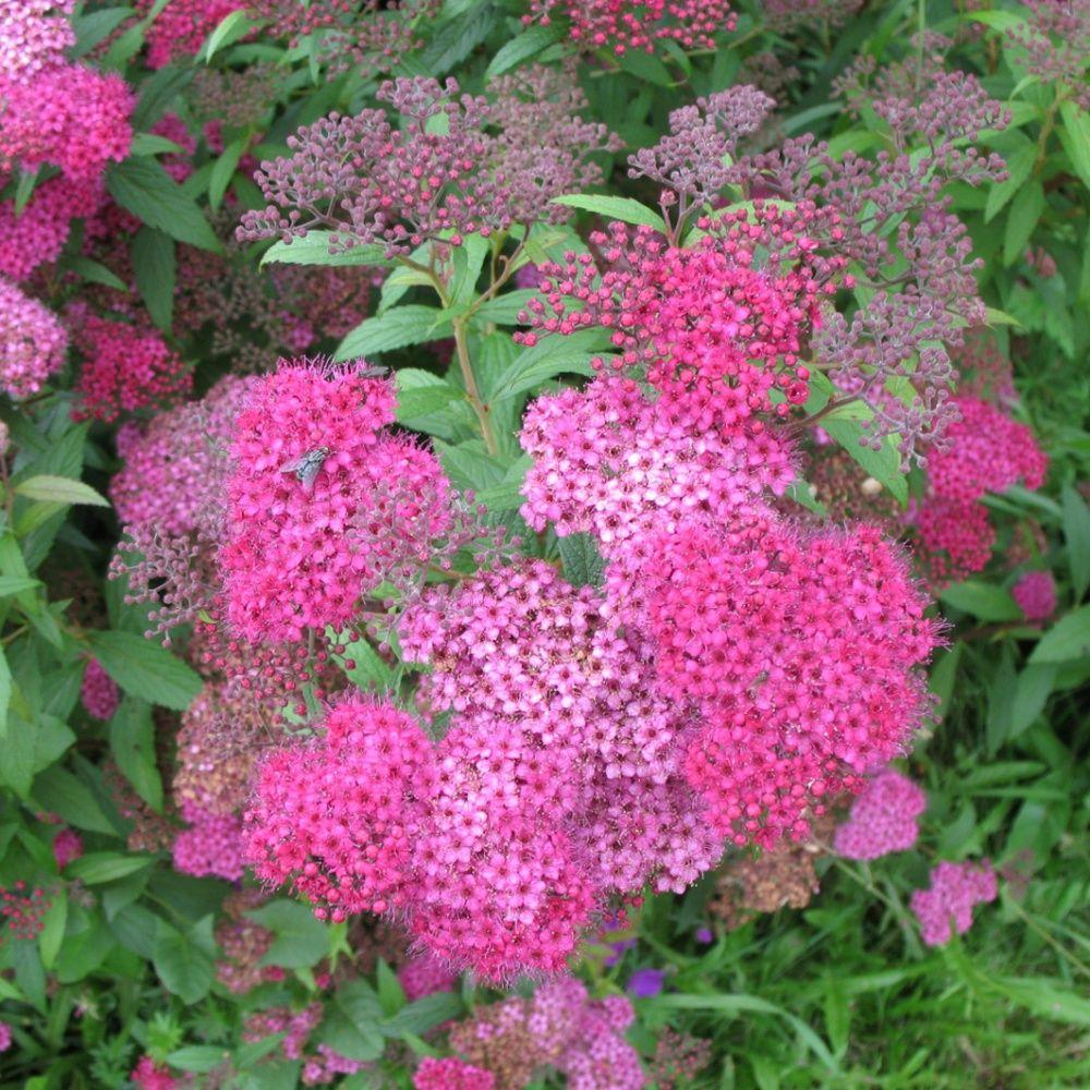 Spir e japonaise 39 anthony waterer 39 plantes et jardins for Plante japonaise pour jardin