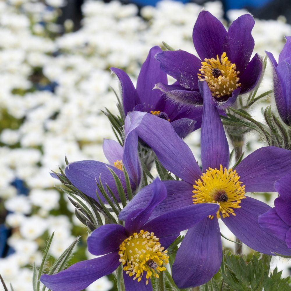 Anemone pulsatille violette - Plantes et Jardins