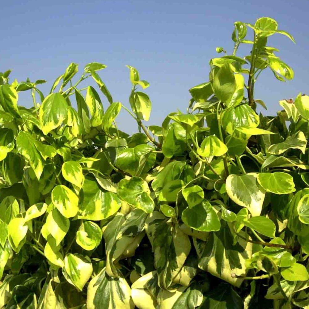 Plante retombante feuillage persistant finest euphorbia for Plante exterieur feuillage persistant