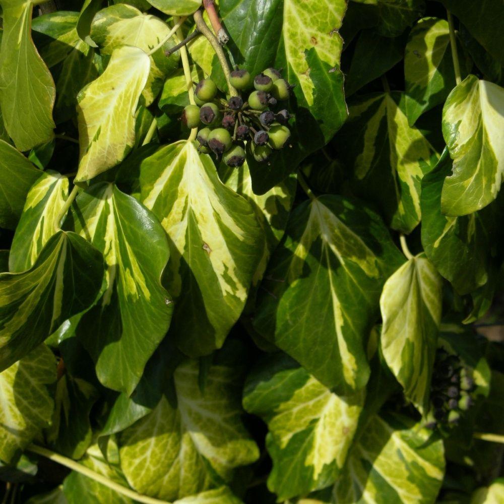 lierre de colchide 39 sulphur heart 39 plantes et jardins. Black Bedroom Furniture Sets. Home Design Ideas