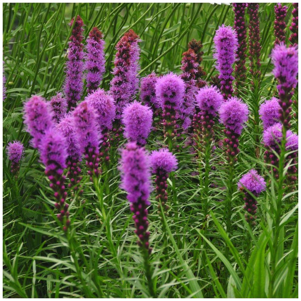 Liatris spicata kobold plantes et jardins for Plante de jardin vivace