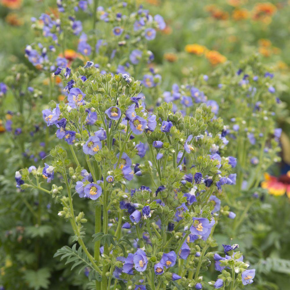 Polemonium 39 bambino 39 plantes et jardins for Plante et jardins