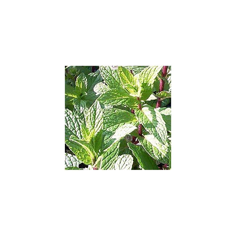 Menthe chinoise plantes et jardins for Plantes et jardins