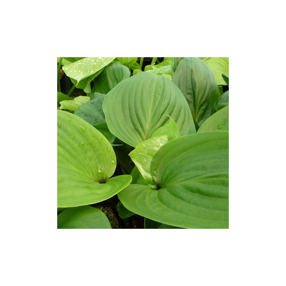 Hosta 39 purple heart 39 plantes et jardins for Plante et jardins