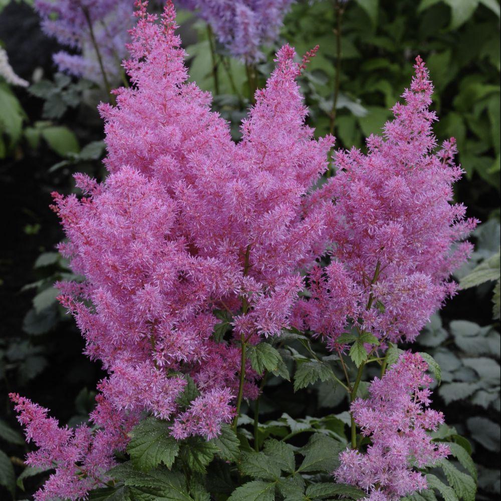Fleurs vivaces rose id e d 39 image de fleur for Plantes fleuries vivaces