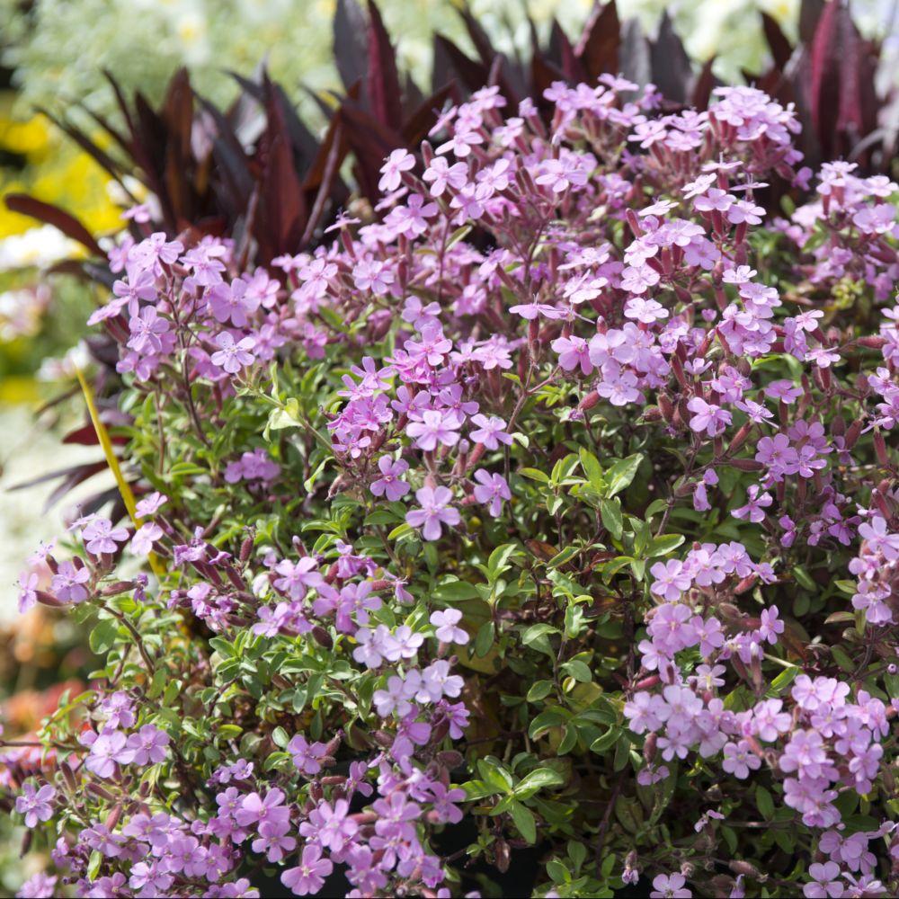 Saponaire rose plantes et jardins for Plante et jardin catalogue