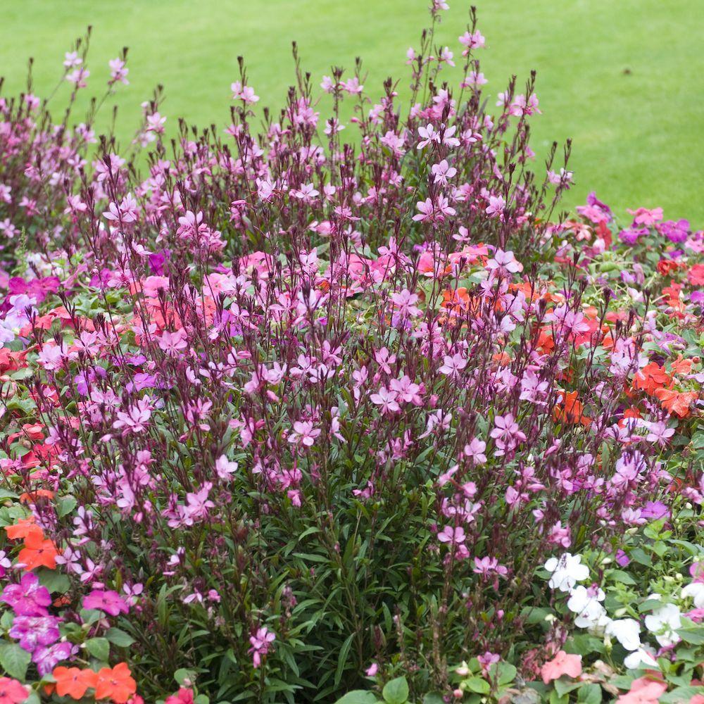 Gaura lindheimeri 39 siskiyou pink 39 plantes et jardins for Plantes fleuries pour jardin