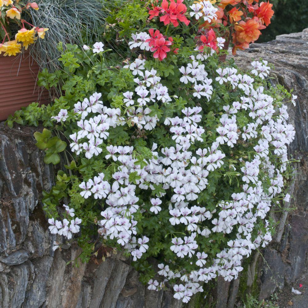 Geranium lierre blizzard blanc plantes et jardins for Plante et jardins