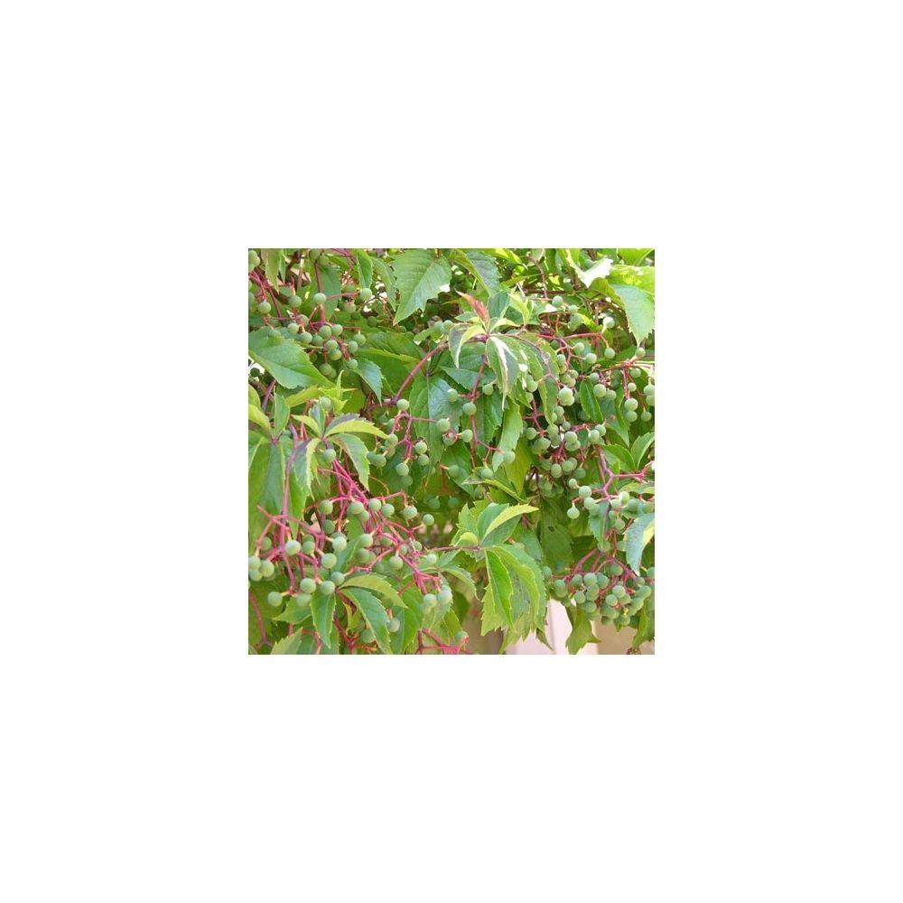 Vigne vierge quinquefolia plantes et jardins for Plante et jardin catalogue
