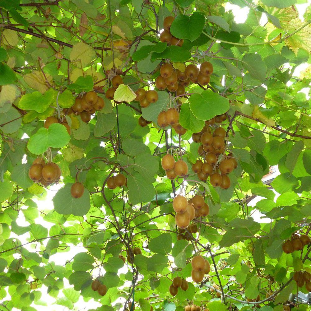 Kiwi autofertile 39 solissimo 39 plantes et jardins - Www plantes et jardins com ...