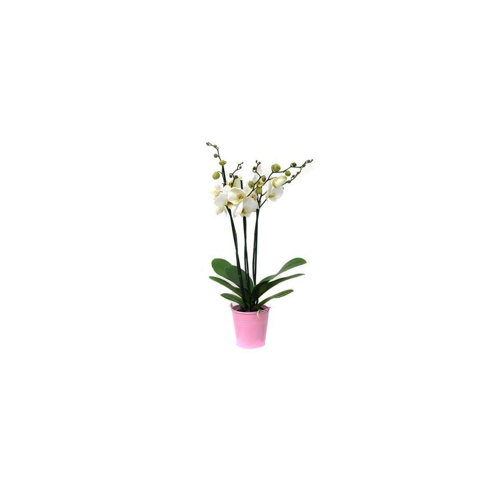 orchid 233 e phalaenopsis blanche en fleurs 3 tiges florales cache pot plantes et jardins