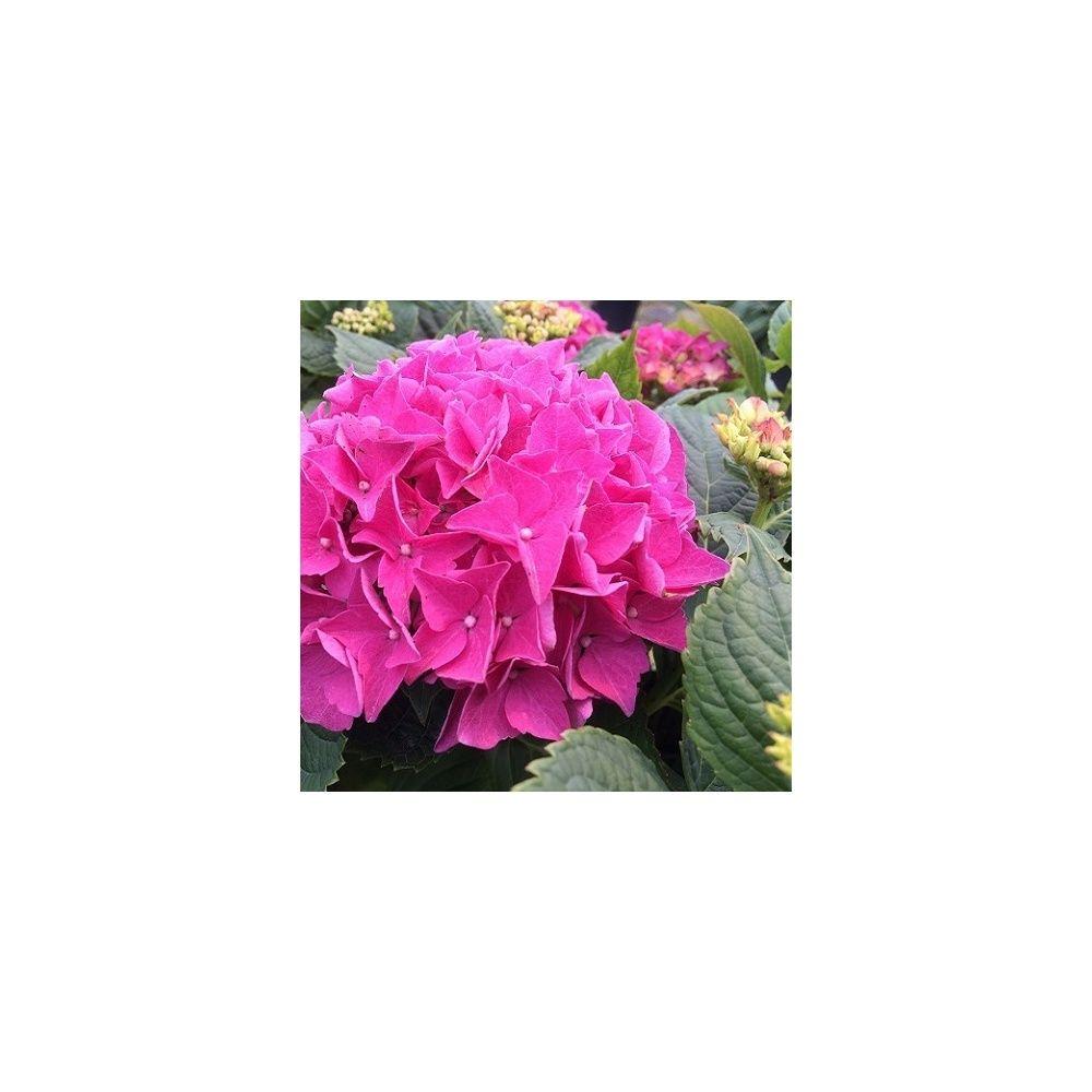 hortensia 39 early rose 39 plantes et jardins. Black Bedroom Furniture Sets. Home Design Ideas