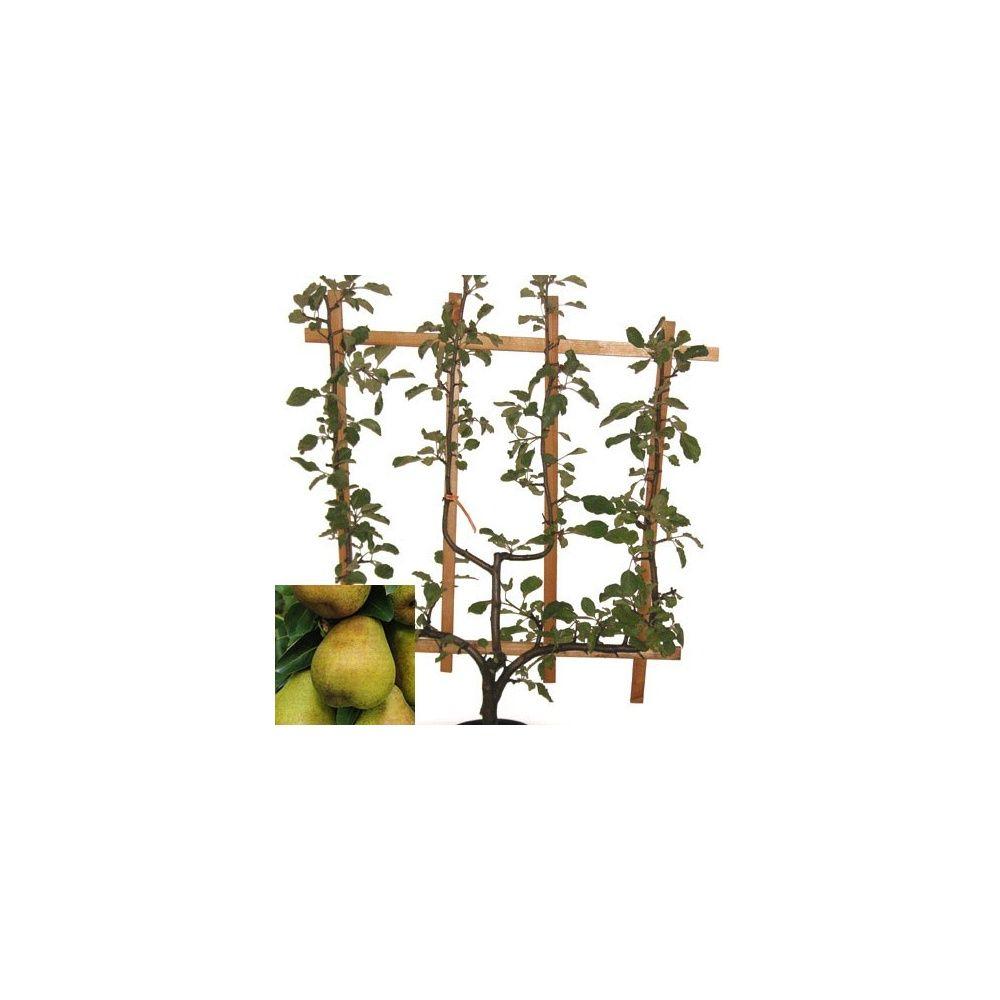 poirier 39 doyenn du comice 39 taille en palmette verrier en pot plantes et jardins. Black Bedroom Furniture Sets. Home Design Ideas