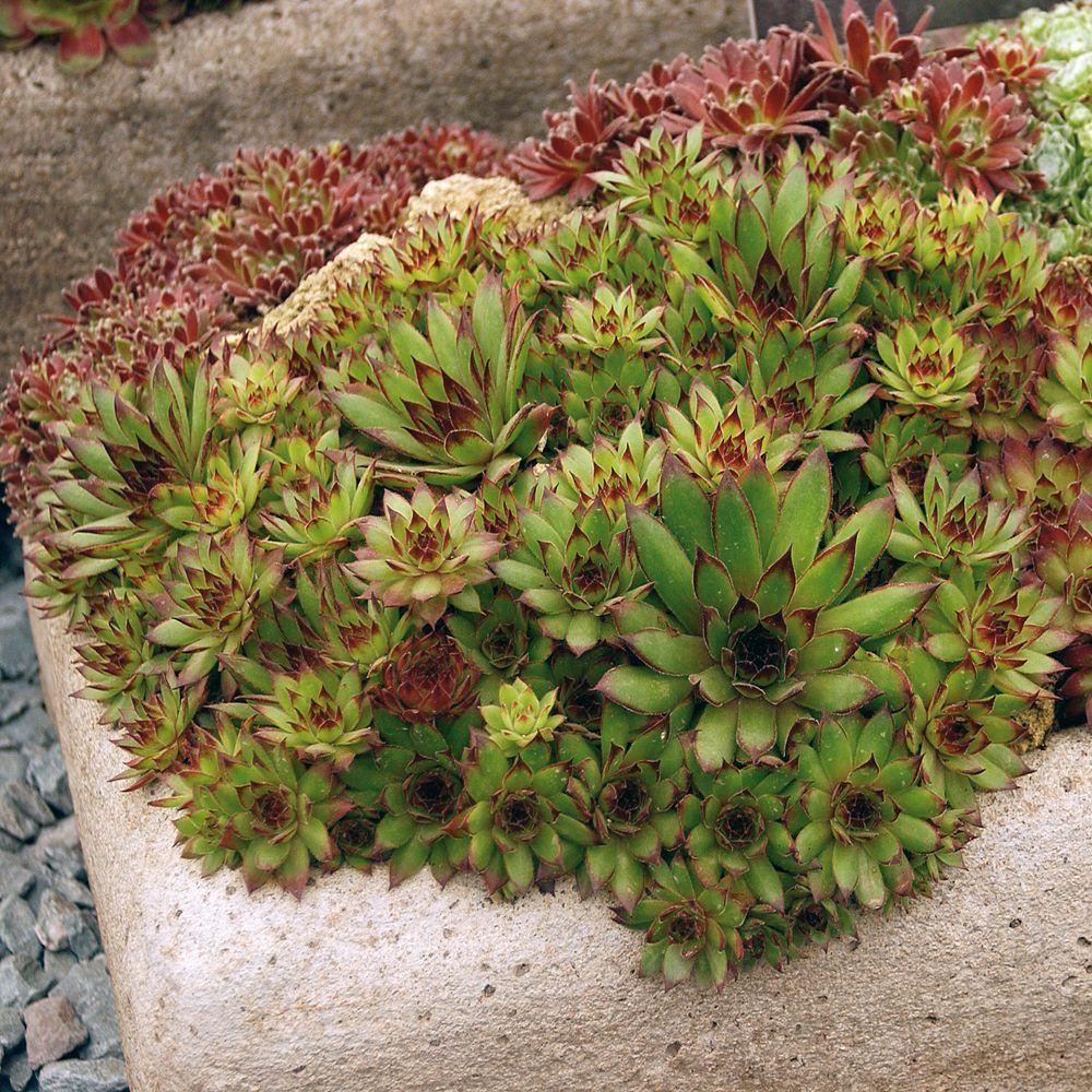 Joubarbe rose plantes et jardins - Www plantes et jardins com ...