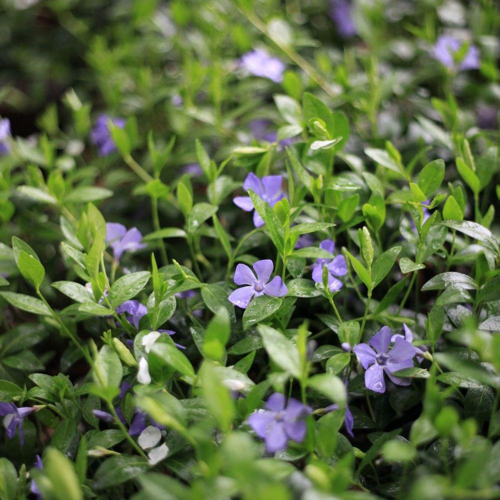 Grande pervenche plantes et jardins - Plante et jardins ...