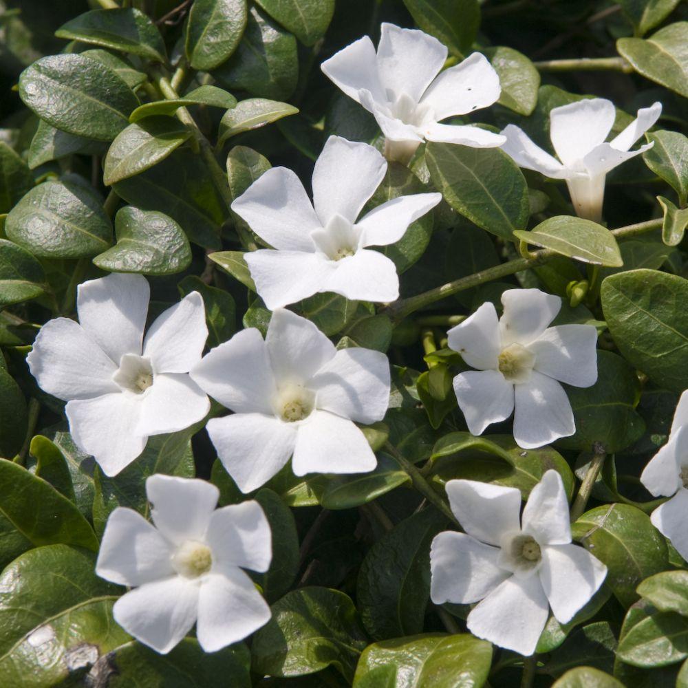 Fleurs blanches vivaces couvre sol for Plantes et arbustes vivaces