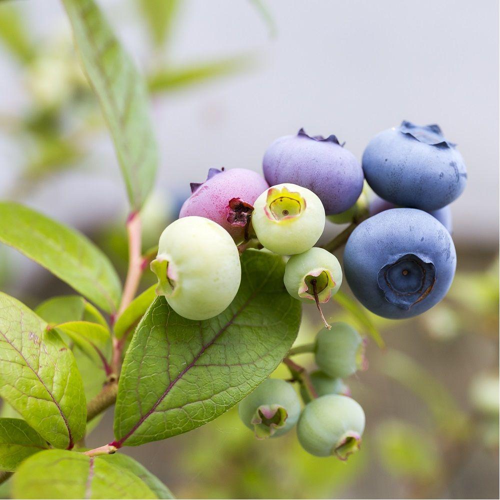 myrtille gros fruits 39 ivanhoe 39 plantes et jardins. Black Bedroom Furniture Sets. Home Design Ideas
