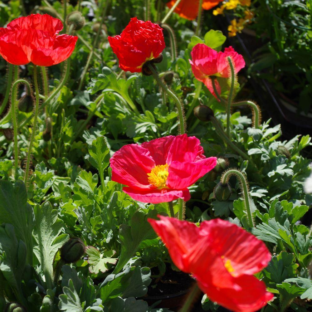 Papaver nudicaule plantes et jardins for Plantes et jardins