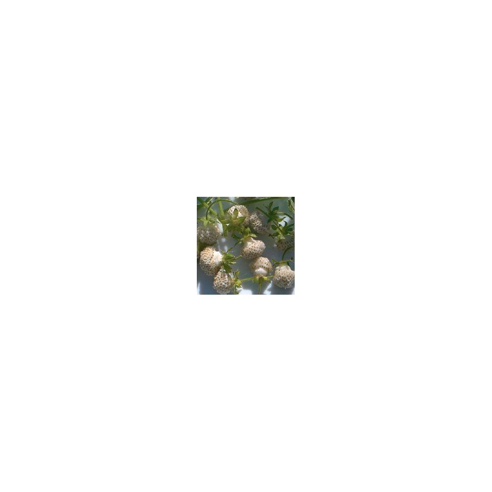 Fraisier 39 abricot 39 plantes et jardins - Planter un noyau d abricot ...
