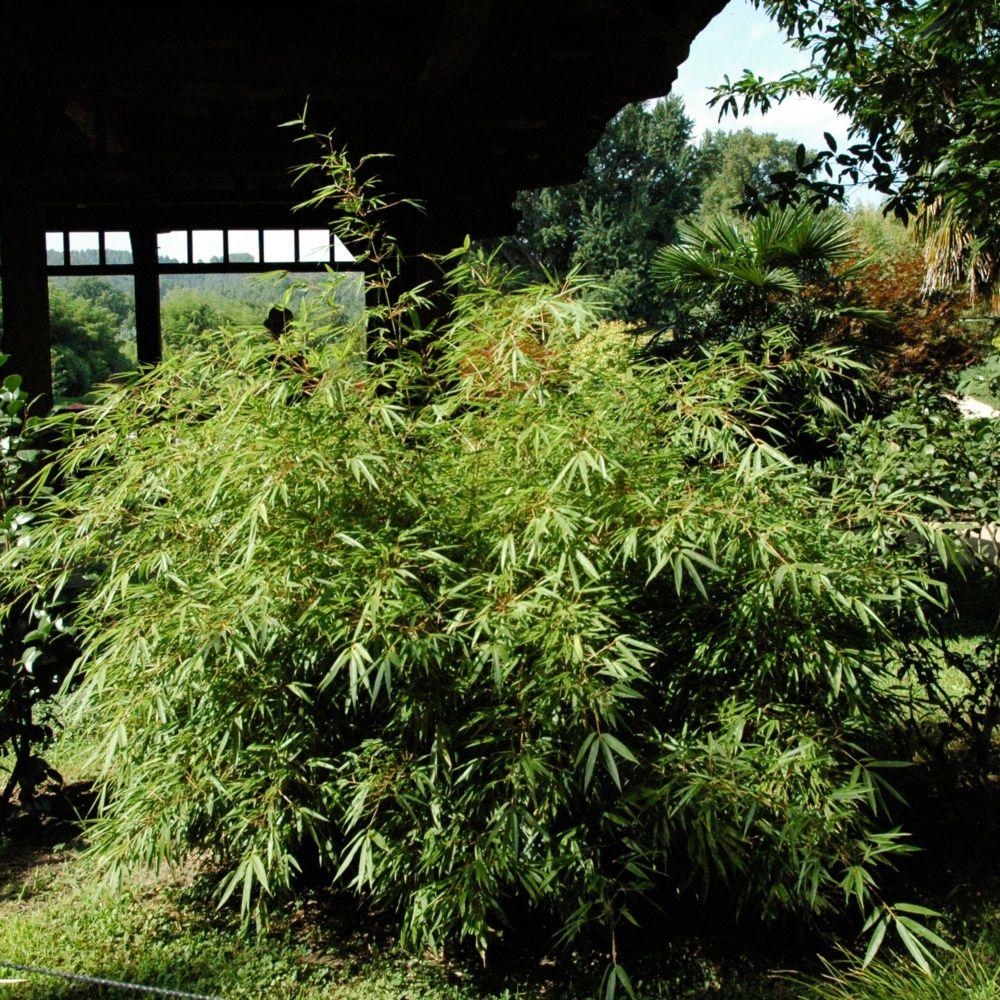 Petit bambou fargesia rufa plantes et jardins for Plantes et jardins