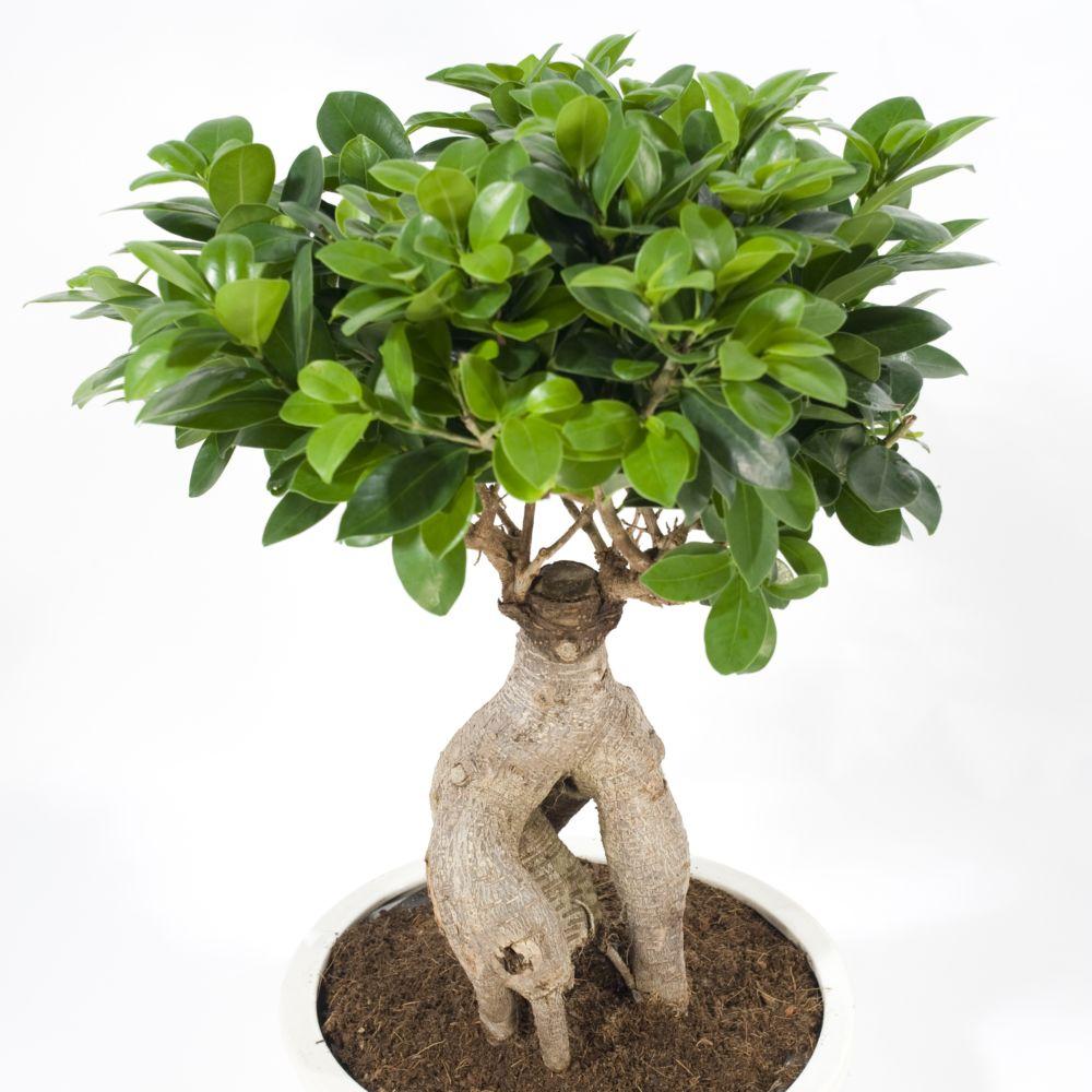 Ficus microcarpa ginseng plantes et jardins for Maladie plante verte interieur
