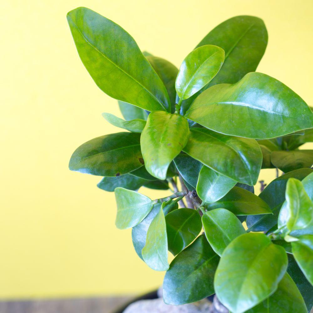 ficus microcarpa ginseng plantes et jardins. Black Bedroom Furniture Sets. Home Design Ideas