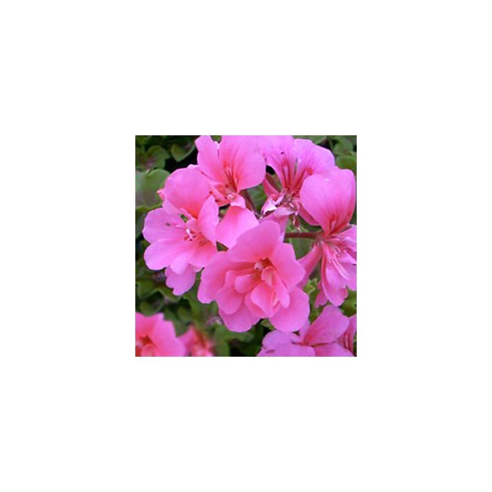 G ranium lierre double rose le lot de 12 plantes et - Geranium lierre double ...