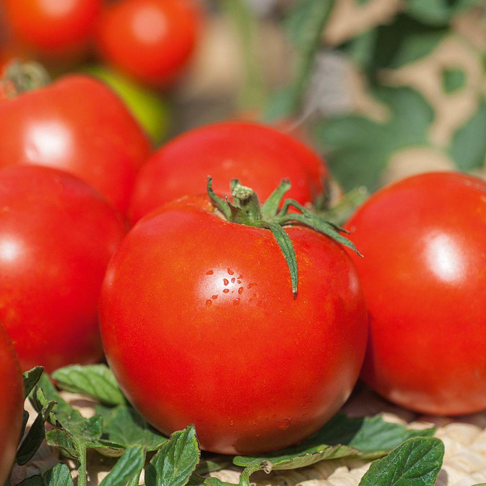 tomate 39 pyros 39 hf1 plantes et jardins