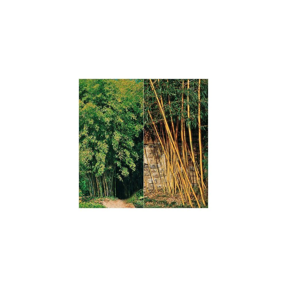 Kit de bambous g ants cannes jaunes et vertes plantes - Jardin de bambou cannes ...