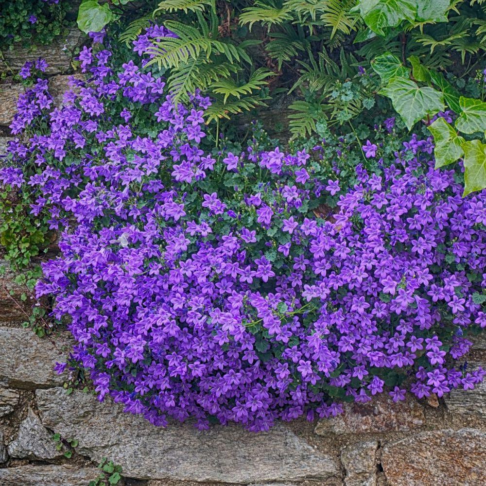 Campanule des murs plantes et jardins for Jardin que planter