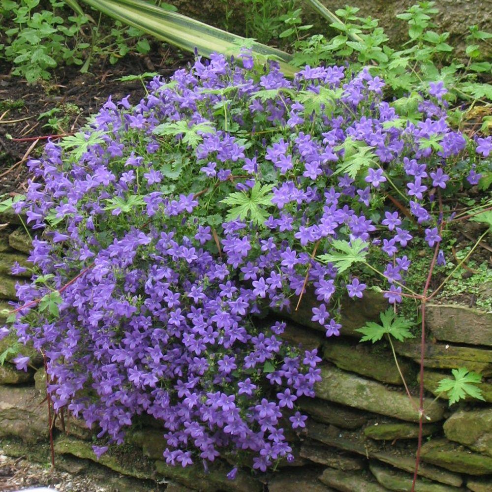 Campanule des murs plantes et jardins for Jardin et plantes