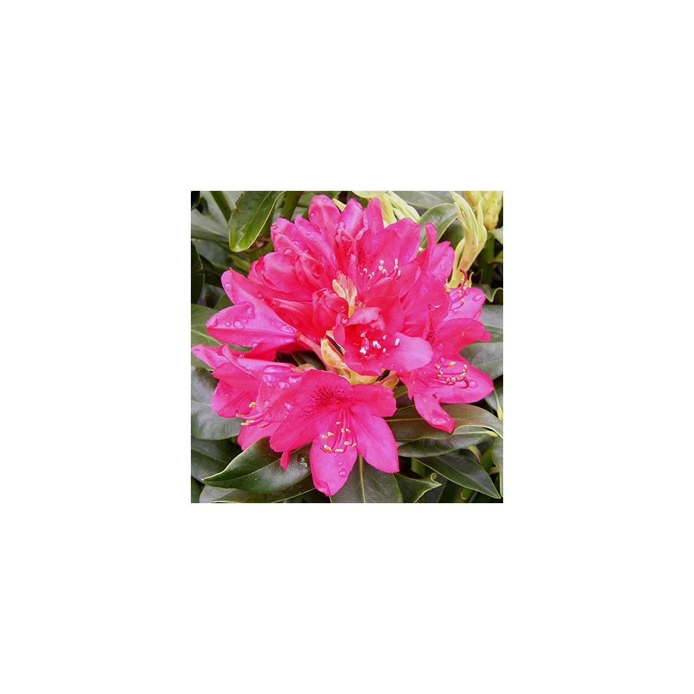 rhododendron nova zembla - Planter Un Rhododendron Dans Votre Jardin