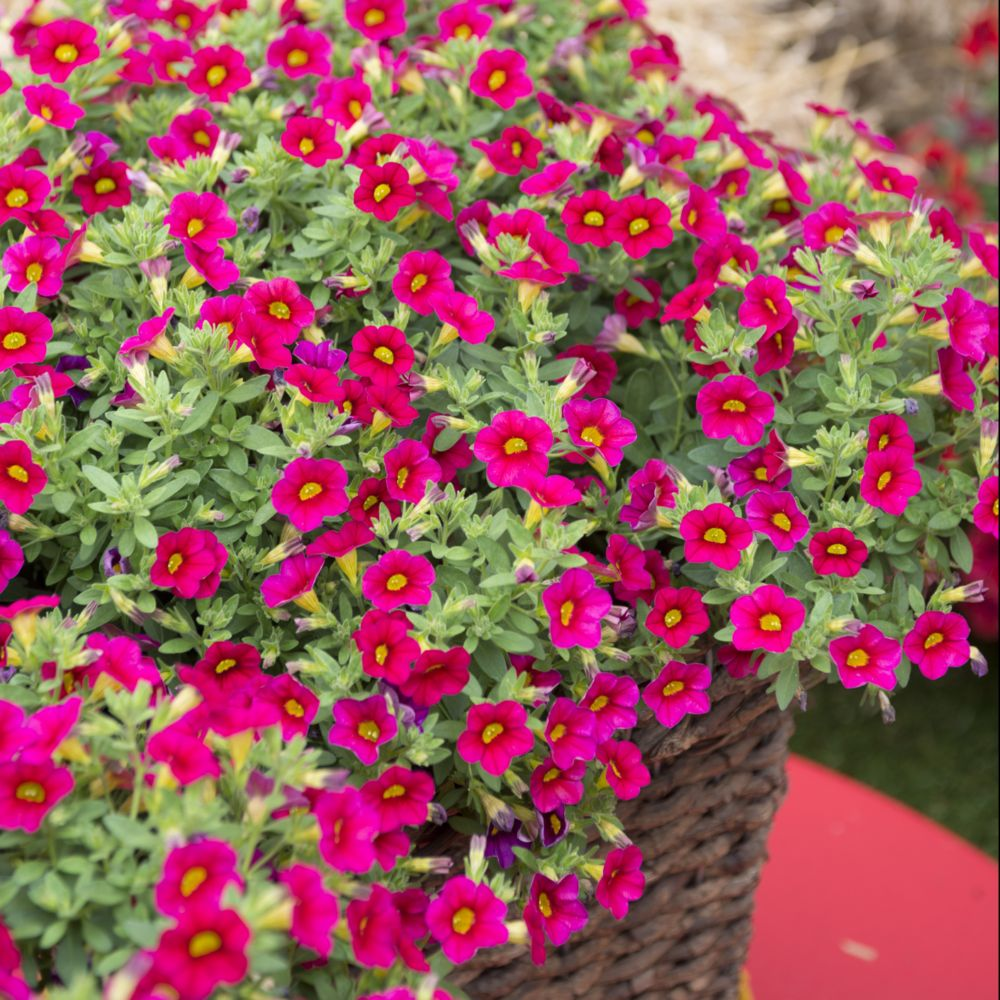 calibrachoa million bells rouge plantes et jardins. Black Bedroom Furniture Sets. Home Design Ideas