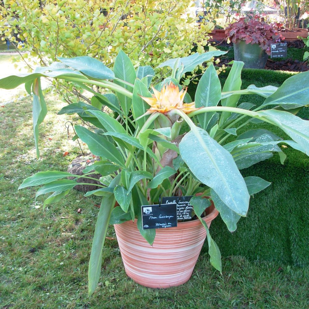 bananier lotus d 39 or plantes et jardins. Black Bedroom Furniture Sets. Home Design Ideas
