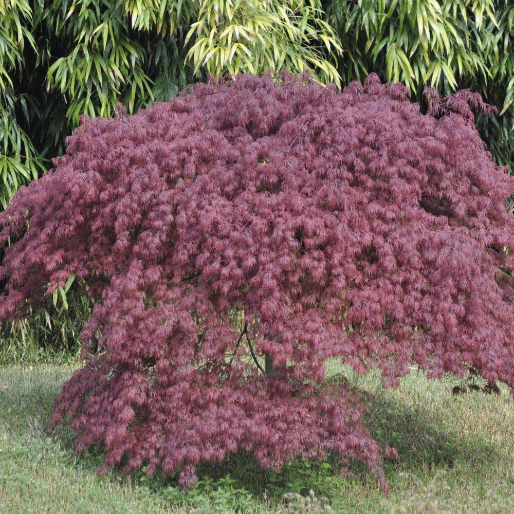 erable du japon 39 dissectum inaba shidare 39 plantes et jardins. Black Bedroom Furniture Sets. Home Design Ideas