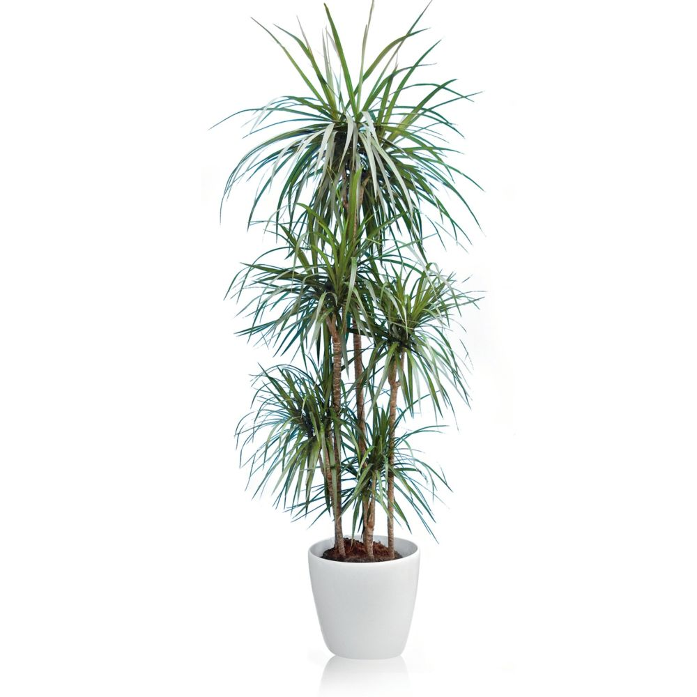 dracaena marginata 5 pieds rempot dans pot lechuza classico blanc plantes et jardins. Black Bedroom Furniture Sets. Home Design Ideas