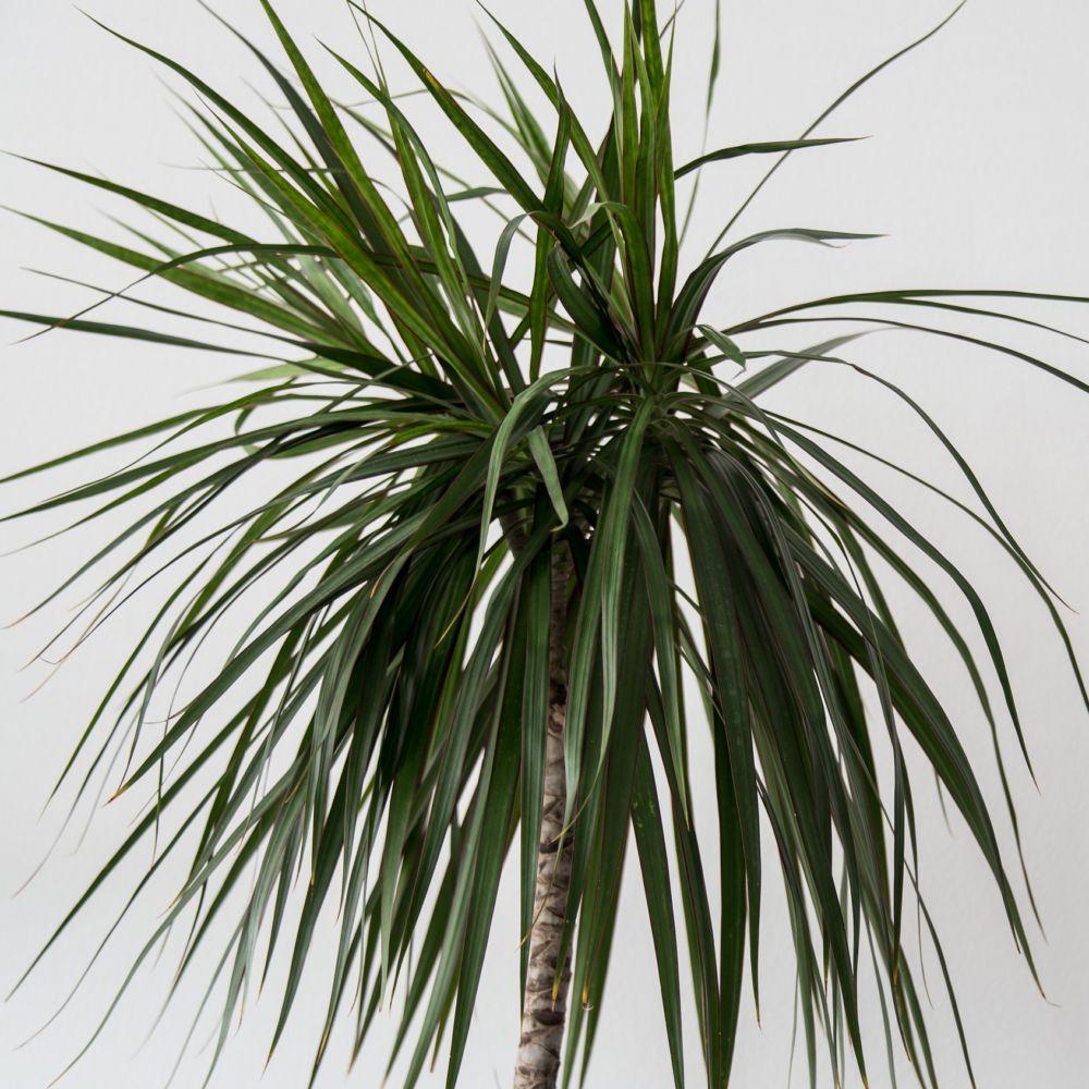 Dracaena marginata 5 pieds rempot dans pot lechuza for Soldes plantes vertes