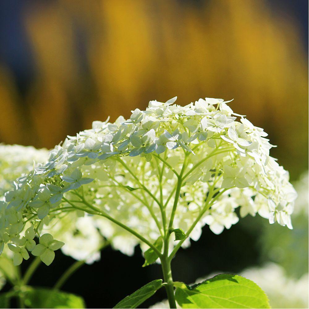 Hortensia 39 annabelle 39 plantes et jardins for Plante et jardins
