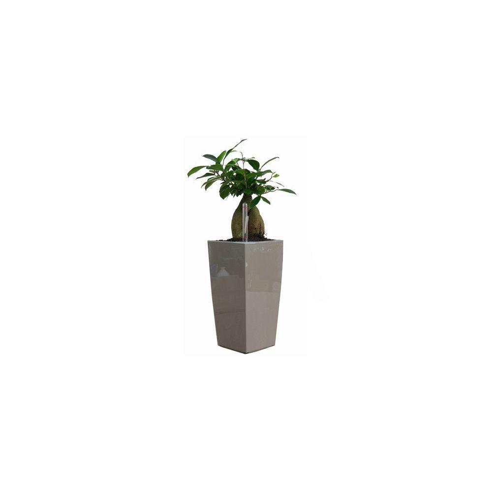 Ficus 'Ginseng' dans pot Lechuza maxicubi taupe