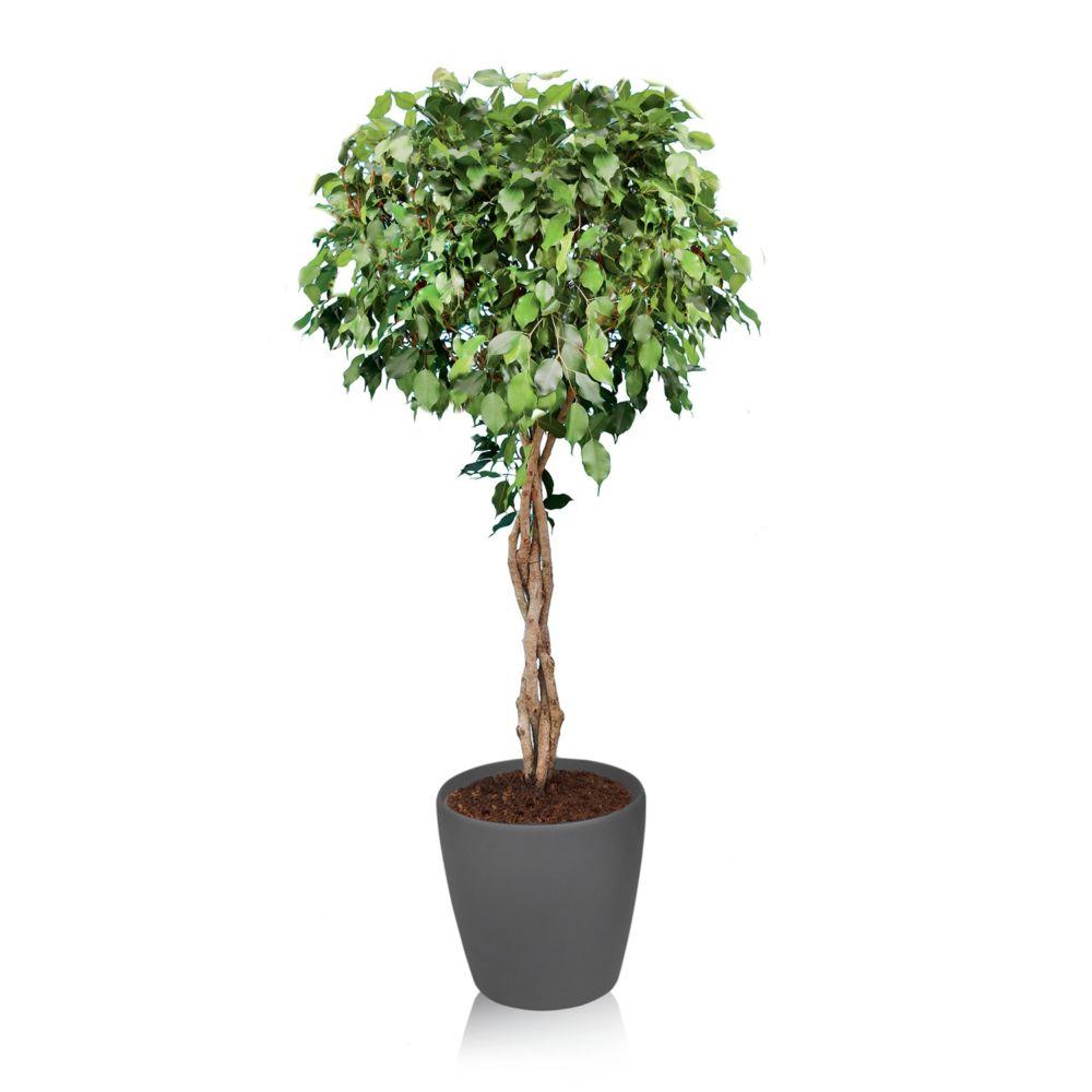 ficus tress rempot dans pot lechuza classico anthracite plantes et jardins. Black Bedroom Furniture Sets. Home Design Ideas
