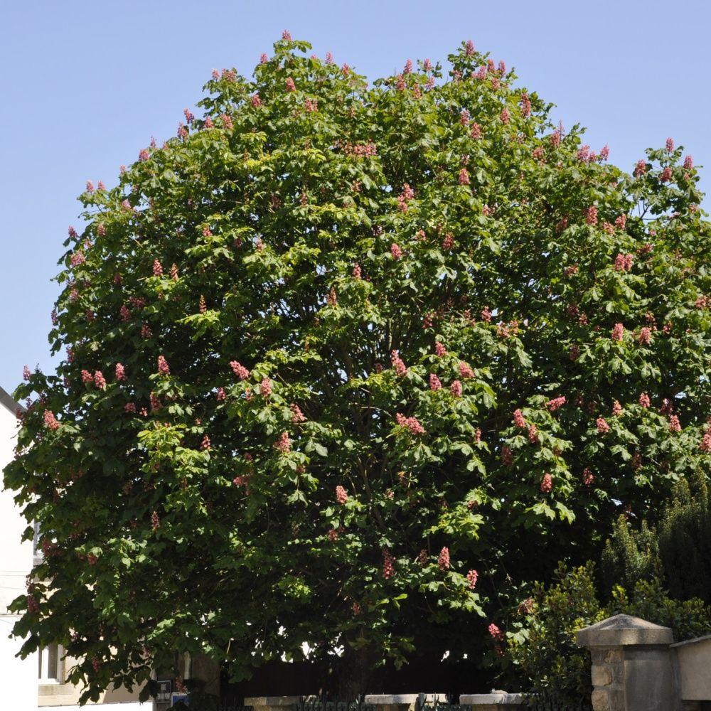 Marronnier fleurs rouges 39 briotii 39 plantes et jardins for Fleurs plantes et jardins
