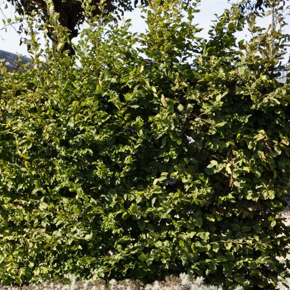 Charme commun plantes et jardins - Www plantes et jardins com ...
